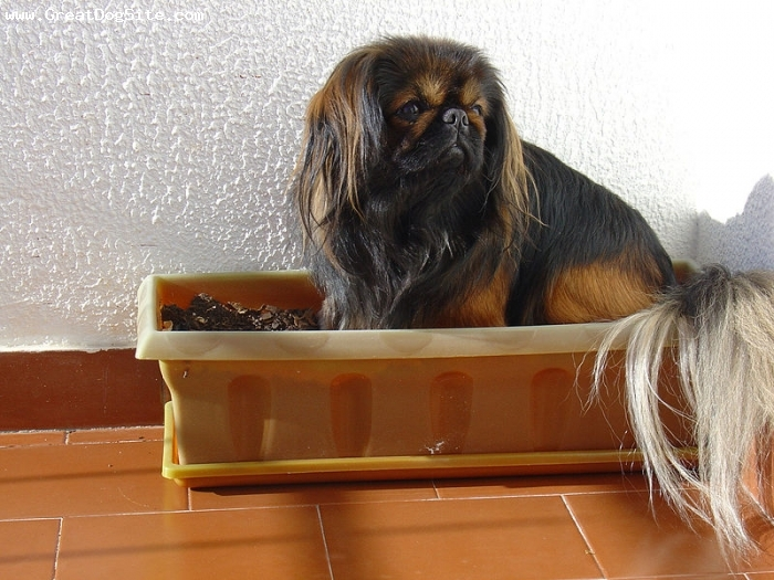 Pekingese, 2 years, Tri Color, In the flower pot