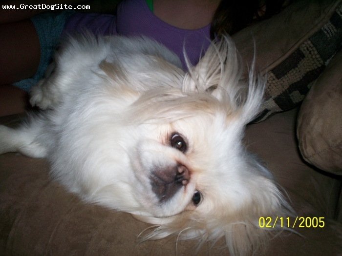 Pekingese, 2yrs, white, cutie pie