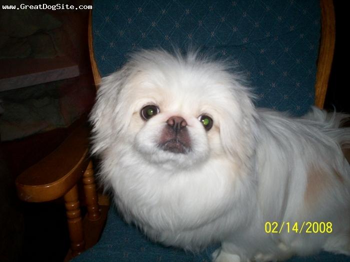 Pekingese, 2yrs, white, baby