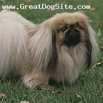 Pekingese, Unknown, Beige and White, LION peKINGese