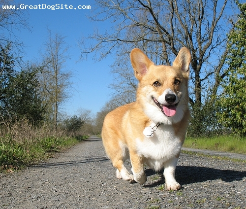 Pembroke Welsh Corgi, 1 year, Brown, Running around