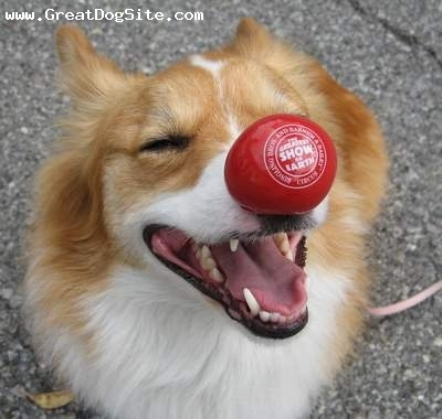 Pembroke Welsh Corgi, 1 year, Brown, Playing with his ball