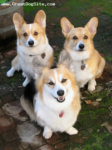 Pembroke Welsh Corgi, 9 months, Brown, my corgis