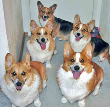 Pembroke Welsh Corgi, ?, Brown, ...