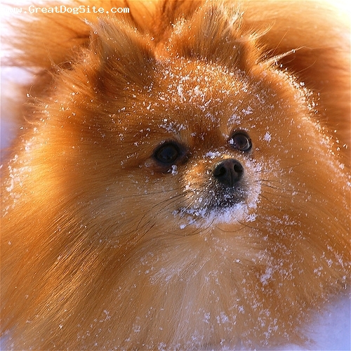 Pomeranian, 1 year, Brown, My buddy in the snow