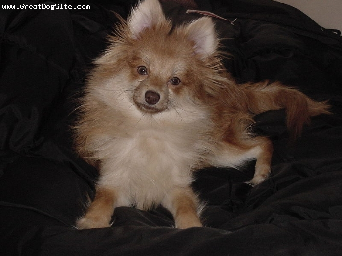 Pomeranian, 1 year, Brown, black and white photo