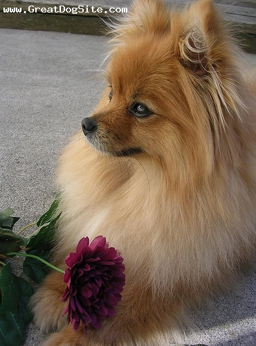 Pomeranian, 1 year, Brown, Looking out for me