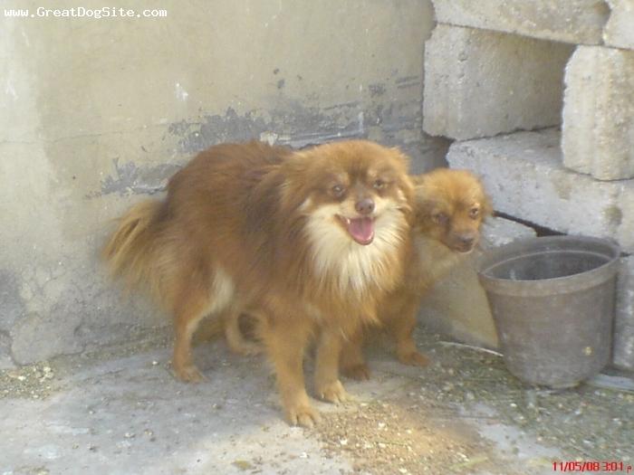 Pomeranian, 1yer, yellow&red,  my lovly bobi,s