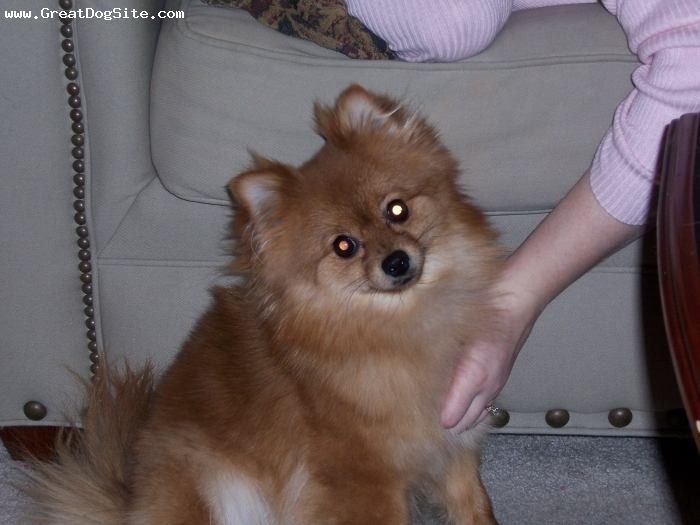 Pomeranian, 2, red-sabe, Just my sweat pom being her self