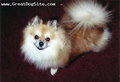Pomeranian, 2yrs, brown, Fun, loves to bark very playful