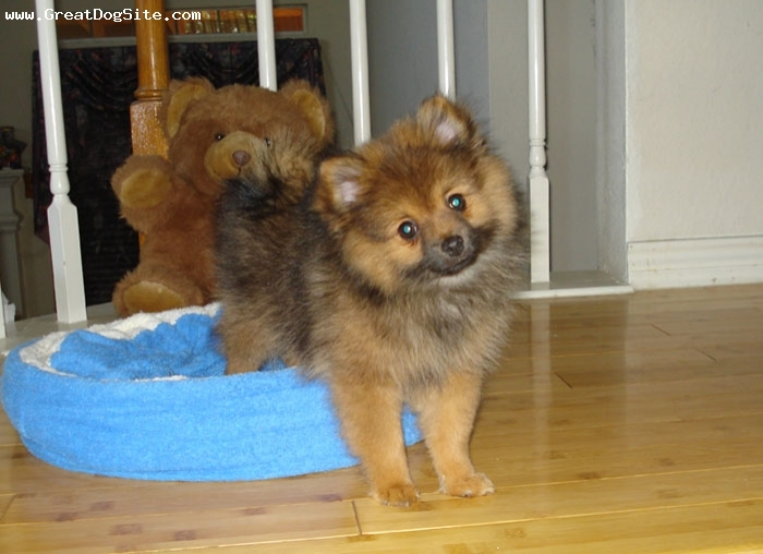 Pomeranian, 3 months, heavy orange sable, my cute pom doesn't he look like the teddy bear?
