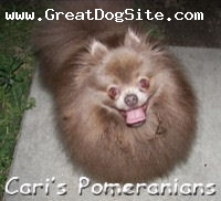 Pomeranian, 3 years, Chocolate Dilute (Lavender), Oso owned by Cari's Pomeranians.