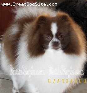 Pomeranian, 3 years, Chocolate Parti, Athena Chocolate Parti owned by Cari's Pomeranians.