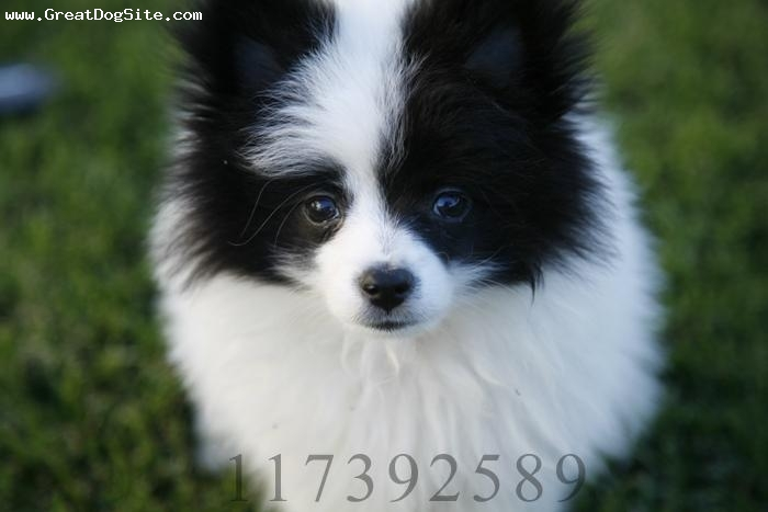 Pomeranian, 3months, Parti, White with black ears COPYRIGHT MYSPACE.COM/117392589