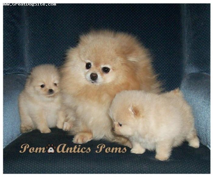 Pomeranian, 5, Cream, Snow and Pups