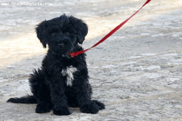 Portuguese Water Dog, 2 months, Black, my new puppy