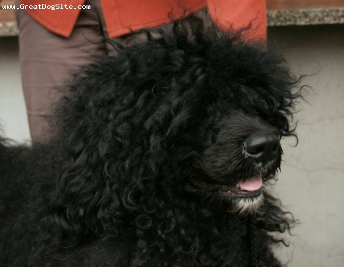 Portuguese Water Dog, 2 years, Black, her face
