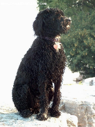Portuguese Water Dog, 2 years, Black, just got out of the lake