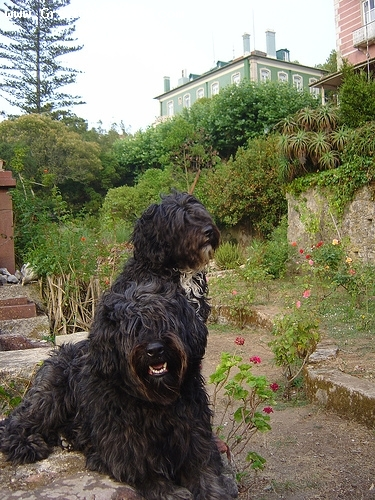 Portuguese Water Dog, 2 years, Black, great dogs