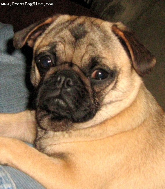 Pug, 1 year, Fawn, Beautiful! That's the only word to describe this wonderful little girl.  She is simply beautiful!