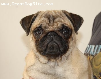 Pug, 12 months, beige,  PUG  female Mon Cherri Pibaro. More information on e-mail: or