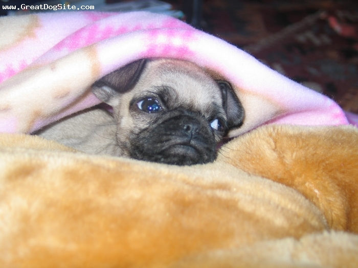 Pug, 4 months, tam, The cutest pug on earth ;-)