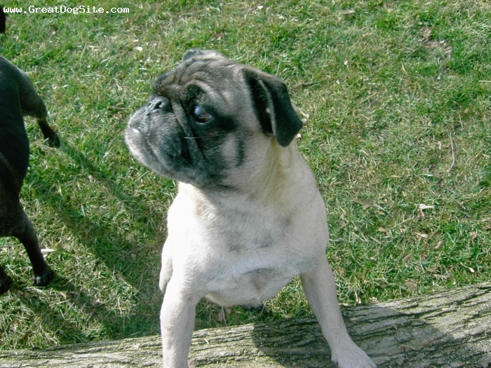 Pug, 7, Fawn, Ian Adrian McLeod is full of pug humor and hijinks. In his own words -