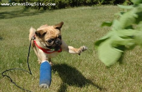 Pug, 9 months, Fawn, Flying through the air with his broken leg