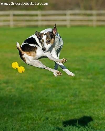 Rat Terrier, 1 year, Tri Color, jumping for a ball