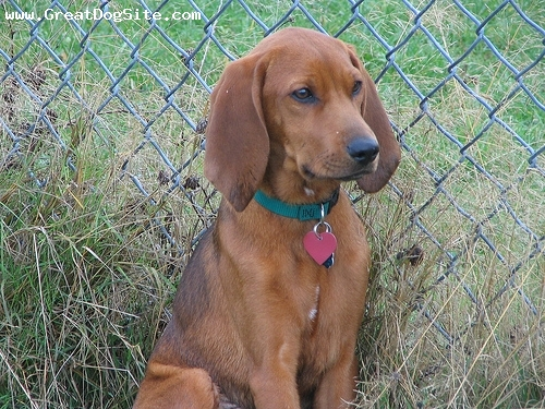 Redbone Coonhound, 7 months, Red, by the fence