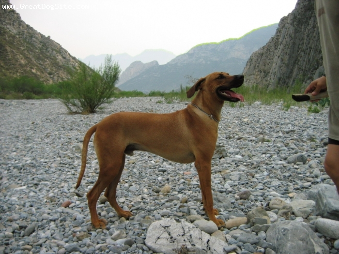 Rhodesian Ridgeback, 1, yellow-red, 12 months-dog, excelent adaptation  to the weather, good behavior in door... obedient.... magnificant option to