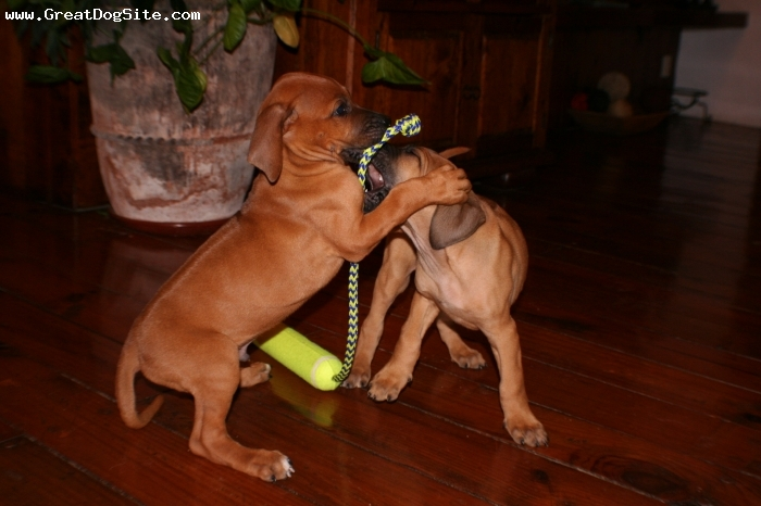 Rhodesian Ridgeback, 2 months, brown, playing