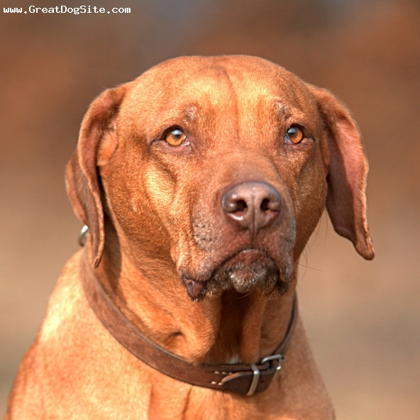 Rhodesian Ridgeback, 2 years, Wheaton, close up