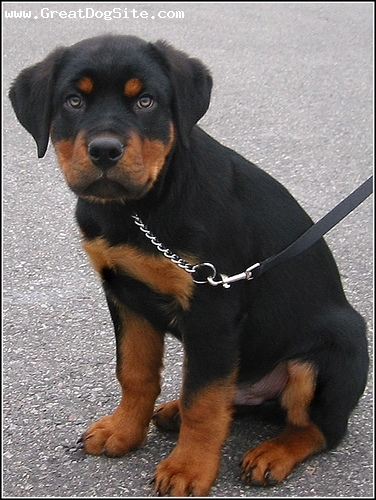 Roman Rottweiler, 2 months, black, he's already getting big