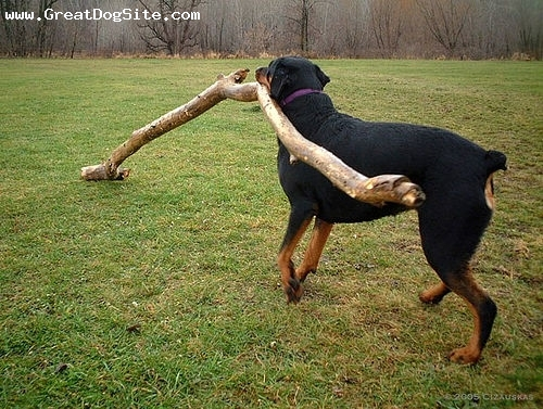 Rottweiler, 1 year, Black, His throwing stick