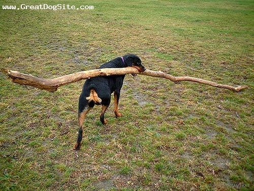 Rottweiler, 1 year, Black, Balancing it on his back to carry it