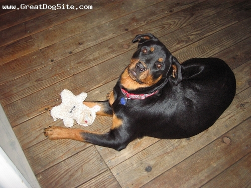 Rottweiler, 1 year, Black, with her chew toy