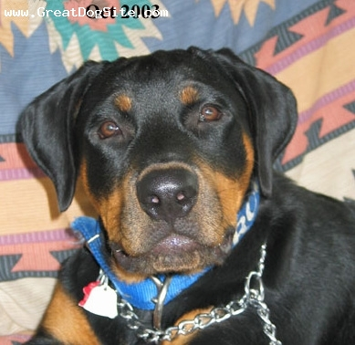 Rottweiler, 1 year, Black, Rottenweiler inquiring look