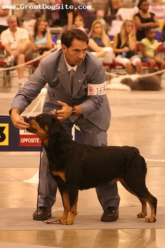 Rottweiler, 1.5 years, Black, at a dog show
