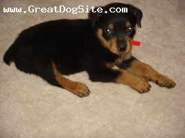 Rottweiler, 2 months, Black,Rust, As a pup