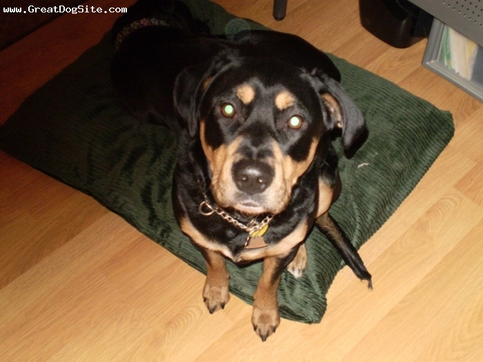 Rottweiler, 2, black and golden, she is a fun loving dog that loves water and is nice to people and dogs.