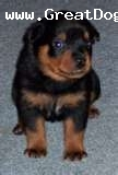 Rottweiler, 2.5months, black, it is a good dog.it understand's what we say