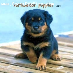 Rottweiler, 4, black brown, very cute and cudly