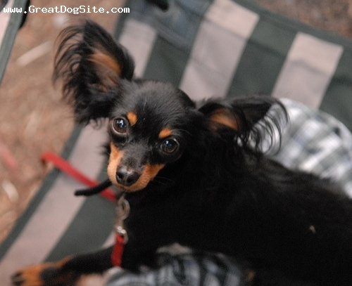 Russian Toy Terrier, 1 year, black, Courtesy of Karmen Huber  http://www.flickr.com/photos/karmenrose/sets/72157594146915981/