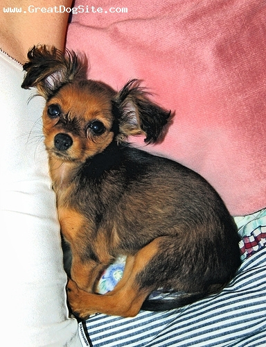Russian Toy Terrier, 1 year, brown, Courtesy of Karmen Huber  http://www.flickr.com/photos/karmenrose/sets/72157594146915981/