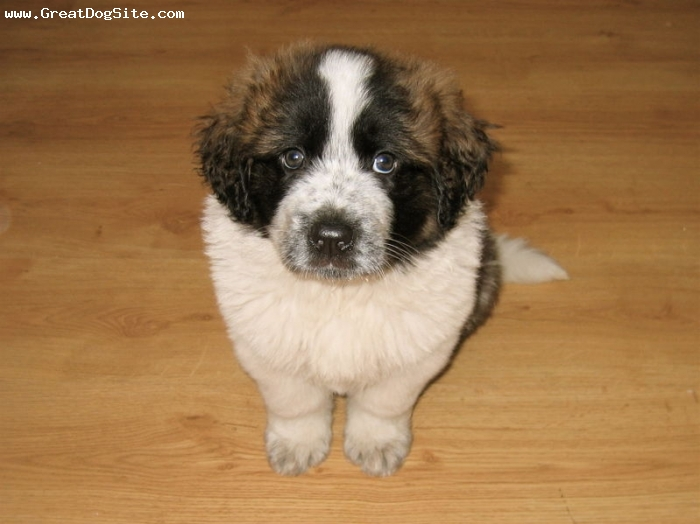 Saint Bernard, 2 months, Brown, small and short.