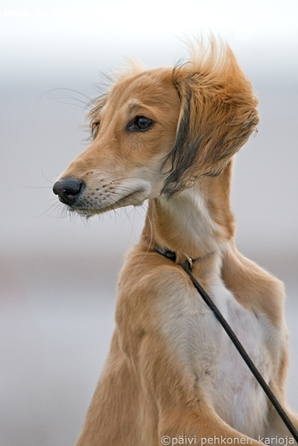Saluki, 1 year, White, in the wind.