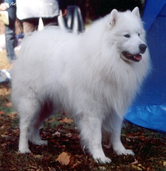 Samoyed, 1 year, White, Front.
