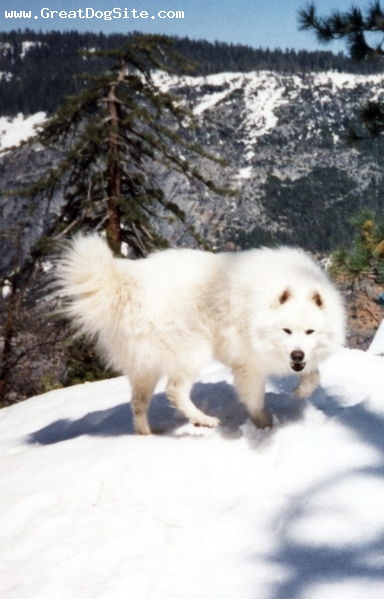 Samoyed, 1 year, White, In the snow.