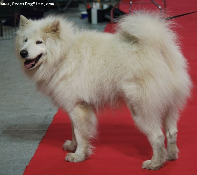 Samoyed, 1 year, White, on the carpet.